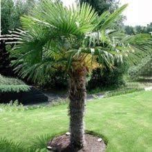 prix des palmiers exterieur palmiers rustiques plantes et jardins