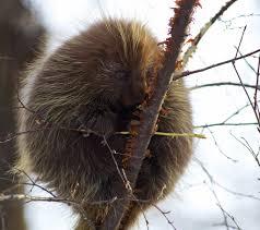 Porcupine Eats Pumpkin by Til Porcupines Make Noise And It U0027s Absolutely Adorable