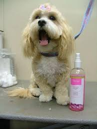 My Lhasa Apso Is Shedding Hair by Lhasa Apso Funkypuppy