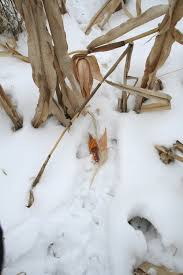Does Deer Shed Their Antlers by Shed Hunting A Sport Unto Itself Outdoorhub