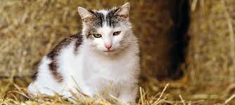 Barn Cat Program – RPAW Ferals Strays And Barn Cats Cat Tales Tuesdays Fun And Aww My Moms Is Gorgeous Viralspell The Care Feeding Of Timber Creek Farm Program Buddies Seeking Support For Its Catsaving Efforts Adoption Barn Cats Near Bardstown Ky Petfinder For Green Rodent Control Turn To Barn Cats The Flying Farmers Free Images Wood Old Animal Cute Wall Pet Rural Sitting On Top Of Bales Straw Ready To Pounce Stock Weve Got Hire Central Missouri Humane Society By Jsf1 On Deviantart