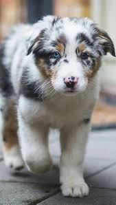 Dogs That Shed The Least by Best 25 Do Australian Shepherds Shed Ideas On Pinterest