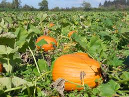 Best Atlanta Area Pumpkin Patch by Best Pumpkin U Pick Places In Puget Sound Cbs Seattle