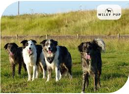 do blue heeler border collies shed border collie shedding tips advice wileypup