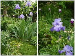 bedroom how to plant bearded iris healthy for me irises