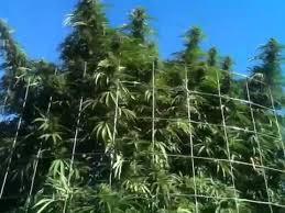 cannabis marijuana plants
