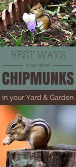Best Ways To Get Rid Of Chipmunks In Your Yard And Garden ... Ayam Cemani Hybrids Backyard Chickens 25 Beautiful Crow Food Ideas On Pinterest Crows And Raven Backyard Bird Idenfication Outdoor Goods 257 Best S Images Ravens Vulture In My Backyard Youtube Control Sos Wildlife Toronto We Played An Old Mattress The Growing Up 70s A Tale Of Two Roosters Men A Little Farm How Do I Get Rid Of Grass In Garden Area Black Best Photos Animals 2017 Home Lawn Pest How To Get Rid