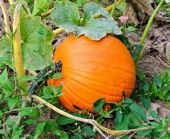 Pumpkin Picking Maine by Picking Pumpkins At The Farm The Martha Stewart Blog
