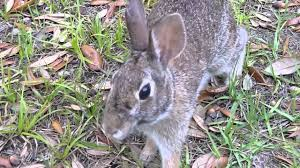 Can Rabbits Eat Pumpkin Seeds by Wild Rabbit Eating Corn Out Of My Hand Youtube