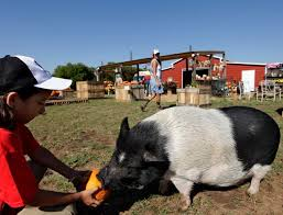 Pumpkin Patch Parker County Texas by Take A Tour Of Lola The Pig U0027s New Digs All Dressed Up For Fall