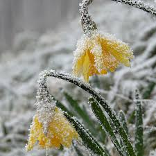 daffodil bulbs item 3027 rijnvelds early sensation for sale