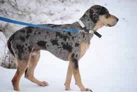 Black Mouth Cur Shed Hunting by Favorite Dog Breeds Trapper Talk Trapperman Com Forums