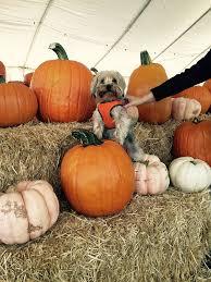 Pumpkin Patch Fresno Clovis by Planet Pumpkin Posts Facebook