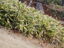 petits bambous et bambous nains sélection d espèces et variétés