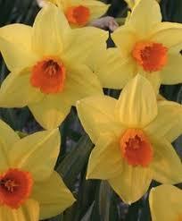 daffodil kokopelli available at livinggardens daffodils