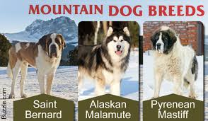 List Of Non Shedding Big Dogs by A List Of Mountain Dog Breeds With Amazing Information And Pictures