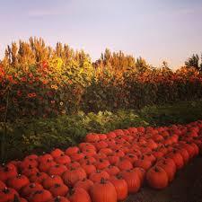 G M Pumpkin Patch Livermore Ca by חוות ה Pumpkin Patch המוצלחות באזור הביי בעניינים
