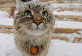 snow cat snow cat pictures photos and images for