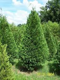 Christmas Trees Types by Eastern North Carolina Christmas Tree Growers Association