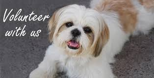 Small Non Shedding Dogs For Adoption by Lhasa Happy Homes