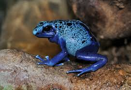 Do Aquatic Dwarf Frogs Shed Their Skin by Blue Poison Dart Frog Wikipedia
