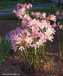 bloom time august to september bplant a pink bulb