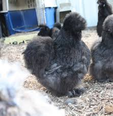 Silkie Hatching Eggs-Oregon-small Orders | BackYard Chickens Breeding Golden Duckwing Marans Backyard Chickens Best 25 Hatch Eggs Ideas On Pinterest Candling Chicken Easter Egger Or Olive Eggar Hatching Types Of Chickens Backyard Chicken Zone Black Copper Marans Hatching Eggs 12 2017 Groundhog Day Hatchalong The Chick Veterinary Care For A Best Tavuk Biefelder Images 229 9 Euskal Oiloa Marranduna Basque Hen Elite Poultry Truth About Pumpkin Seeds Worms Is My Pullethen Erelcock