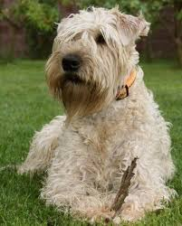 258 best wheaten terrier photography images on pinterest