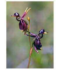 mpro tech flying duck orchid flower seeds 10 seeds buy mpro tech