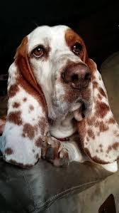 Do Black And Tan Coonhounds Shed 595 best dogs images on pinterest animals dogs and dog