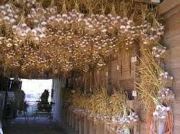 curing and storing the garlic gourmet garlic gardens