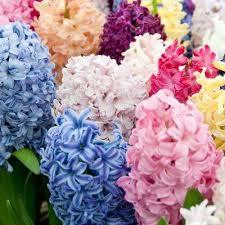 hyacinth garden plants flowers garden center the home depot