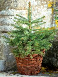 Christmas Tree Saplings For Sale by How To Care For Your Living Christmas Tree Hgtv