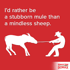 I d rather be a stubborn mule than a mindless sheep independent