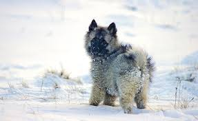 What Dog Sheds The Most by Keeshond Dog Breed Information Pictures Characteristics U0026 Facts