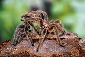 Tarantula Shedding Skin Time Lapse by Tarantulas Answers To Common Questions About These Solitary
