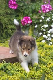 Sweet Sable pup Animal PortraitsShetland SheepdogDoggy