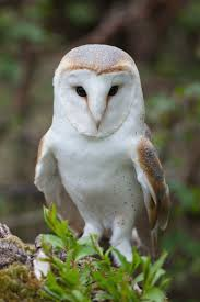 Die Besten 25+ Owl Species Ideen Auf Pinterest | Eulen, Eulenaugen ... Common Barn Owl 4 Mounths In Front Of A White Background Stock Royalty Free Images Image 23603549 Known Photo 552016159 Shutterstock Owl Wikipedia 644550523 Mdc Discover Nature Tyto Alba Perched On A Falconers Arm At Daun Audubon Field Guide Mounths Lifeonwhite 10867839 Barnowl 1861 Best Owls Snowy Saw Whets Images Pinterest Photos Dreamstime