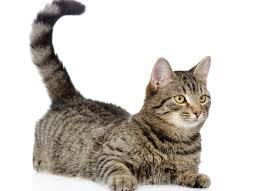 cat cat facts what does it when a cat wags its petmd