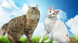 bobtail cat american bobtail vs japanese bobtail cat what s the difference