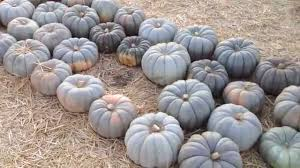 Cinderella Pumpkin Seeds Australia by Jarrahdale Blue Grey Pumpkin Squash At Mr Bones Pumpkin Patch