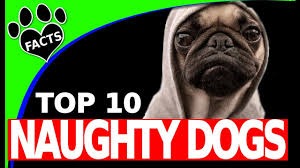 Big Lazy Non Shedding Dogs by Top 10 Naughtiest Dog Breeds Try Not To Laugh Dogs 101 Animal