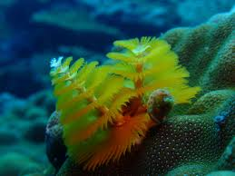Christmas Tree Species Usa by Christmas Tree Worm Psychedelic Frogfish 11 Strangest Looking