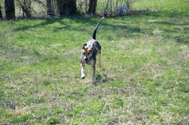 Do Treeing Walker Coonhounds Shed by Fox Hunt Full Cry A Hound Blog