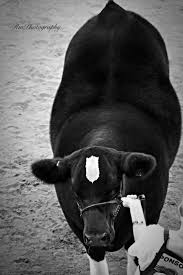 157 Best Cattle Images On Pinterest | Cattle, Farm Animals And ... 1021cattle6ajpg Purple Reign Cattle Company Online Sale The Pulse February 2017 Texas Longhorn Trails Magazine By A Good Place To Be Cow At Fort Worth Stock Show Animals Are Commercial And Registered Ozarks Farm Neighbor Newspaper Cattlemen Opmistic About Resumed Beef Exports To China News Blog Lautner Farms Experience The Value Best Of Southwest Shootout Overall Market Burke Hidin In Sand Steer November 2015 Graham Livestock Auction Sanctioned Shows Ijbba Iowa Junior Beef Breeds Association