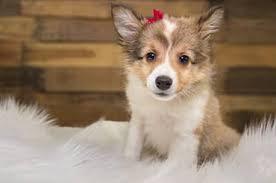 Sheltie Shedding Puppy Coat by Shetland Sheepdog Sheepdogs Dog Breeds Puppy Adoption The