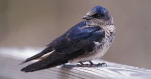 Purple Martin | Audubon Field Guide Union Bay Watch Surround Sound The Color Is So Beautiful Birds Pinterest Tree Swallow Easy Tips To Attract Swallows Swifts And Martins Feather Tailed Stories 2017 Barn Swallow Migration Annual Cycle Audubon Guide North American Fledgling Feeding Time Youtube Petting A Baby Hinterland Whos Who Eating Insects Barn Nextdoor Nature