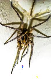 Spiders At Spiderzrule - The Best Site In The World About Spiders ... Spiders At Spiderzrule The Best Site In World About Spiders Barn Funnel Weaver Spider North American Insects Bug Eric Thinlegged Wolf Genus Pardosa Grass How To Tell If A Spider Is Not Brown Recluse Spiderbytes