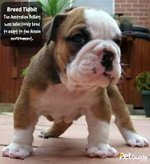 Non Shedding Small Dogs Australia by Australian Bulldog