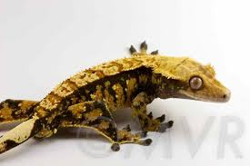 Crested Gecko Shedding Behavior by Crested Gecko Morph Guide Colors Morphs And Traits
